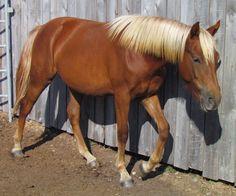 2017 Morgan Filly  CFR Diamond Saracena  www.coyoteflatranch.com Saskatchewan Canada, Morgan Horse, Dressage, Ranch, Horses, Flat, Diamond, Animals, Guest Ranch