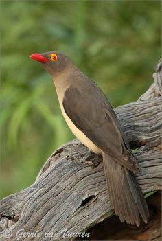 Red Billed Ox-Pecker