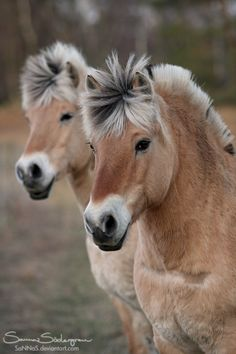 Norweigan Fjordhorses by *SaNNaS on deviantART
