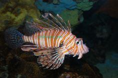tiger fish - Google Search