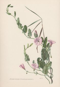 Convolvulus arvensis by AntiquePrintGarden