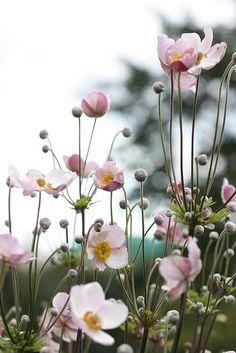 Anemone tomentosa `Robustissima`, Höstanemon. 80-120 cm hög. planteras cc 40-45 cm. Sol till halvskugga. Sol - tillgång till vatten. Blommar juli - okt. Näringsrik jord. Tål inte vinterfukt - väldränerad mark. Gruppperenn