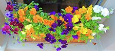 Couldn't resist photographing this beautiful display of pansies while strolling down the street at the annual Fairhope Arts and Crafts Festival this past weekend. Though these pansies are planted in containers placed in front of a store, they are also good for borders and ground covers, as well. Fairhope prides itself in placing floral displays along its streets creating very charming, happy scenery throughout this seaside town. Find this image for sale at  marian-bell.pixels.com