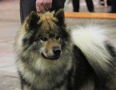 Eurasier  very cool dog!