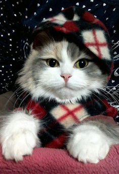 My Favorite shot - コスプレ ネコ Cute Cats And Kittens, I Love Cats, Crazy Cats, Kittens Cutest, Puppies And Kitties, Pretty Cats, Beautiful Cats, Animals Beautiful, Christmas Animals
