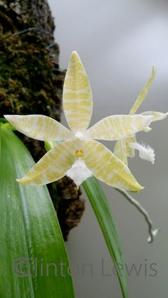 alba (Islands of Polillo and Palawan, Philippines) Rare Orchids, Phalaenopsis Orchid, Unusual Flowers, Amazing Flowers, Unusual Plants, Trees To Plant, Plant Leaves, Orchidaceae, Flower Images