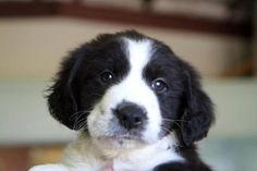 Image Result For Border Collie Lab Dragons And Shit Lab Mix