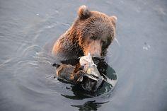Breakfast for this Kodiak Bear. Photo by: Alice Crawley