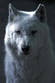 Photo taken last weekend , I present Snow , the white wolf !