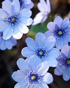 Kallt och diskret – Ungersk blåsippa, Hepatica transsylvanica, tittar upp längs Åpromenaden med sina vackert ljusblå blommor redan i april, aningen före vanliga blåsippor. Den är även något kraftigare och får lite större blommor. Går i både sol och skugga och blir 15–25 cm hög. Härdig. C/c-avstånd: 25 cm. Anemone Hepatica, Blue Is The Warmest Colour, Unusual Flowers, Annual Plants, Environmental Art, Topiary, Trees To Plant, Dahlia, Bellisima