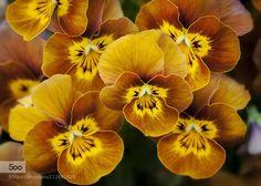 Violas by derekcluskey #macro on 500px