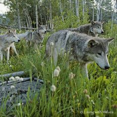 Beautifully majestic Mexican Gray Wolves - SAVE THE WOLVES