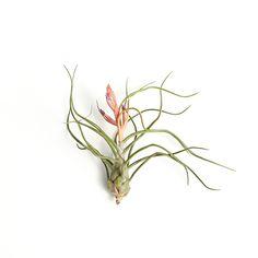 Bulbosa with Flower