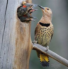 Northern Flicker (Colaptes auratus) at the nest