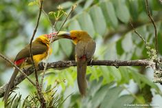 Saffron Toucanet (Pteroglossus bailloni) Male toucans court the females providing fruits for her. | the Internet Bird Collection | HBW Alive