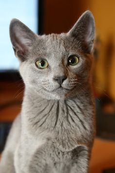 russian blue cat... just a little bit darker and this would be my Shadow!