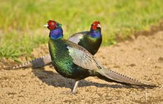 pheasants colors | Green Pheasant: The National bird of Japan | The Lovely Planet