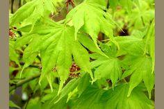acer ki hachijo Japanese maple looks alot like full moon maple multi lobed leaves move in the slightest breeze