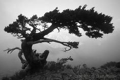 cypress tree Tree Bark Identification, Maple Tree Bark, Monterey Cypress, Tree Watercolor Painting, Tree Sketches, Celtic Tree Of Life, Fantasy Forest, Purple Art, Cypress Trees