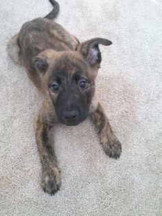 Dutch Shepherd puppy: I bet this is what Roxy looked like. Sad I missed her as a tiny pup.. though she is still a puppy now--the chewing phase of puppy.. haha!