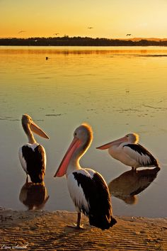 Shoalhaven Heads, NSW, Australia These 3 pelicans were snoozing in the sun until I got there with my camera hehe, then they sailed off and joined another friend in the water, as seen in