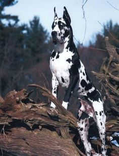 Too handsome! | A community of Great Dane lovers!