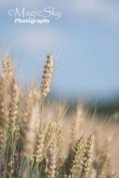 Nature photography Spike GRAIN wheat sunnyfields by MagicSky, Kč400.00