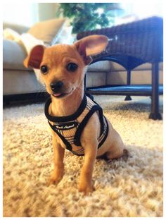 Pippy the Chiweenie