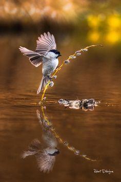 Marsh tit, by Robert Didierjean... #lake #birds #water #reflection #bird #animals #bud #animal #wildlife #wild #tit #marshtit