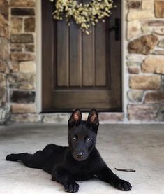 A woman revealed it took DAYS to get her 17 cats and dogs to pose together for a picture Cute Puppies, Cute Dogs, Dogs And Puppies, Doggies, Cute Baby Animals, Animals And Pets, Belgian Malinois Puppies, German Malinois, Black Belgian Malinois