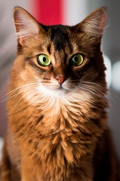 Picture of somali cat staring at the camera.