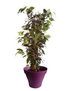 Moyen ficus benjamina avec cache pot violet
