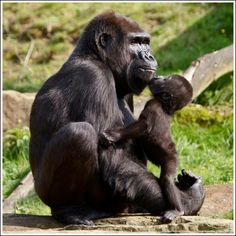 Primates, Cute Baby Animals, Animals And Pets, Funny Animals, Beautiful Creatures, Animals Beautiful, Baby Gorillas, Cute Animal Pictures, Belle Photo