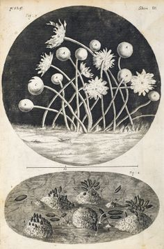 Sketch of fungus from Micrographia, by Robert Hooke, Ernst Haeckel, Nature Illustration, Botanical Illustration, Robert Hooke, Slime Mould, Nerd Love, Patterns In Nature, Floral Patterns, Science And Nature