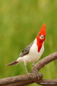 Red-crested Cardinal - found in northern Argentina, Bolivia, southern Brazil, Paraguay, and Uruguay (by Matthew Sullivan)