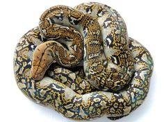 Marble het Indo line Mocha Reticulated Python #retic #reticulatedpython #reticnation #retics #reticsofinstagram #pythonreticulatus… Retic Python, Python Snake, Reticulated Python, Prehistoric, Sheds, Hunters, Crocodile, Shed Houses, Crocodiles