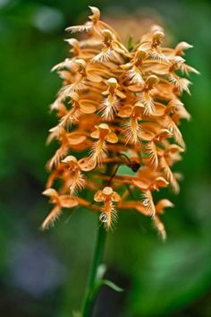Yellow Fringed Wild Orchid