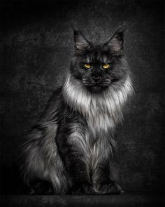 White Wolf : Glorious Photos of Maine Coon Cats Who Look Like Majestic Mythical…