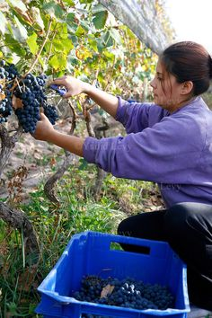 Woman harvesting grapes at a vineyard in Luján de Cuyo, Argentina.