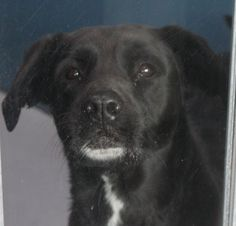 JULIE - ID#A697213    My name is JULIE.    I am a spayed female, black Labrador Retriever.    The shelter staff think I am about 6 years old.    I have been at the shelter since Feb 02, 2013.