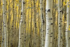 Birch. Maybe cuz I grew up with these in Germany is why I'm so in love with the aspens in Colorado too. Many similarities between them.