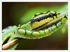 Sri Lankan green pitviper (Trimeresurus trigonocephalus) by Madhawa, via Flickr