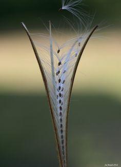 Seedhead. Su reed