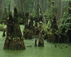 When it comes to exploring Sky Lake, you have two options – the boardwalk or paddling trail. Bald Cypress Tree, Cypress Swamp, Cypress Trees, Giant Tree, New York, Plantation, Natural Wonders, Small Towns, Mississippi