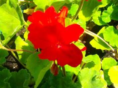 Geranium Photo:  This Photo was uploaded by tenshinoame. Find other Geranium pictures and photos or upload your own with Photobucket free image and video...