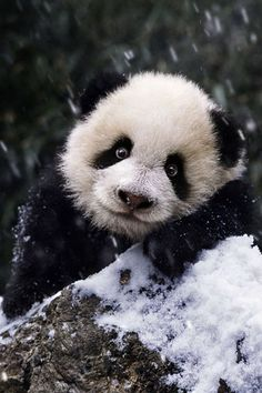 "Funny panda photo. Photographer unknown. Re-pinned by Dew Pellucid, author of ""The Sound & The Echoes"": http://thesoundandtheechoes.com"