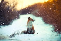 Beautiful Fox in snow....