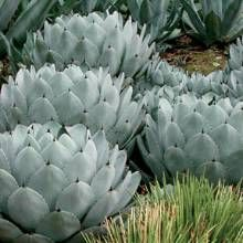 Parryi's agave---Not sure if this is Huntington's Garden, Pasadena, but that's a magnificent garden with spectacular cactus and succulents