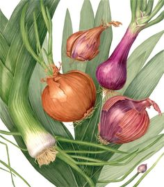Dancing Onions Botanical Print - Botanical Watercolor Painting by Sally Jacobs - Kitchen Décor - Botanical Vegetable Watercolor Fruit, Fruit Painting, Watercolor Paintings, Original Paintings, Watercolors, Vegetable Illustration, Posters Vintage, Fruit Art, Flower Images