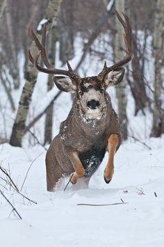 Mule Deer running in snow!